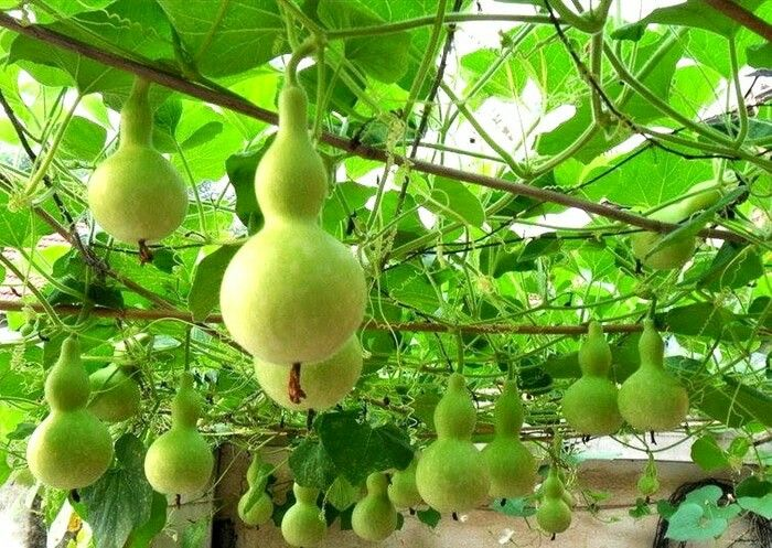 Bottle gourd seed Just 10k for 5 seed  Contact  wq085777119992