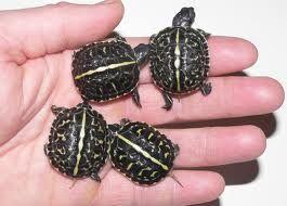 Baby Box Turtles. Amazing shell patterns