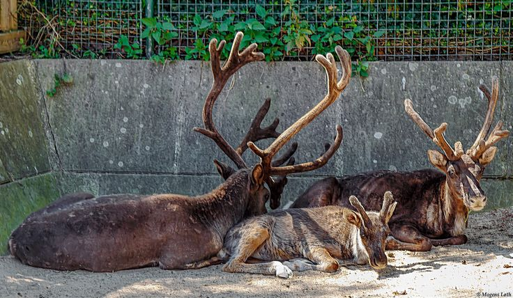 Reindeer Family lies in the shadow