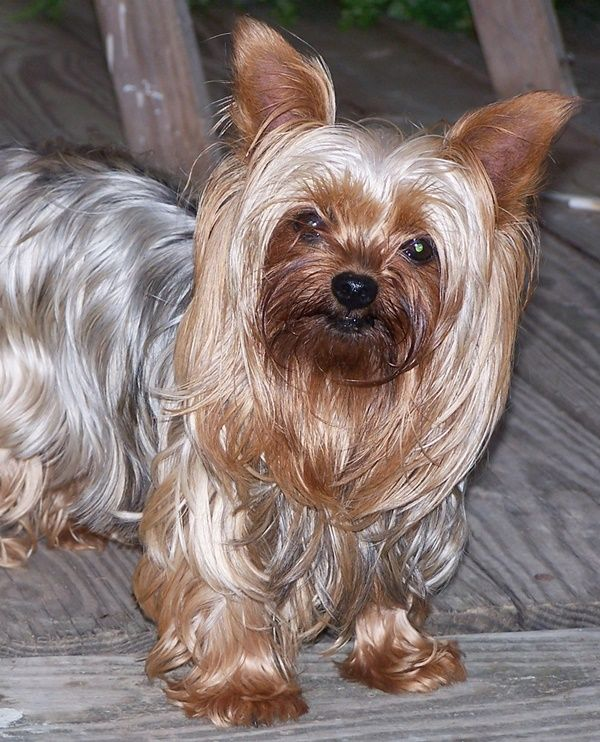12 Famous Small Long Haired Dog Breeds Yorkshire Terrier