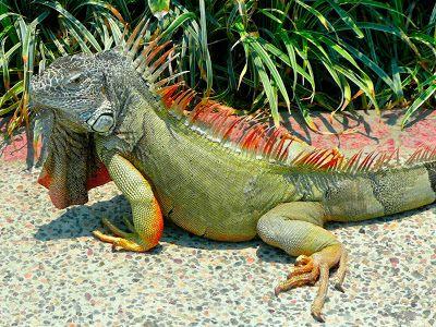 Iguana-verde ou Iguana-comum (Iguana iguana)