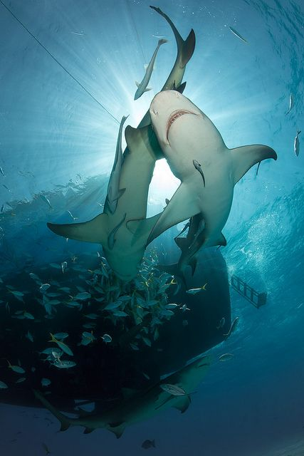 shark dance Facebook: Anna Maria Island Beach Life www.annamariaislandhomerental.com
