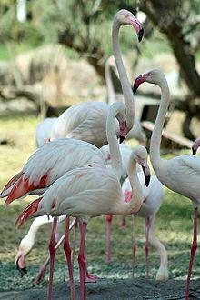 Phoenicopterus roseus (Greater Flamingos) are native to Bahrain.