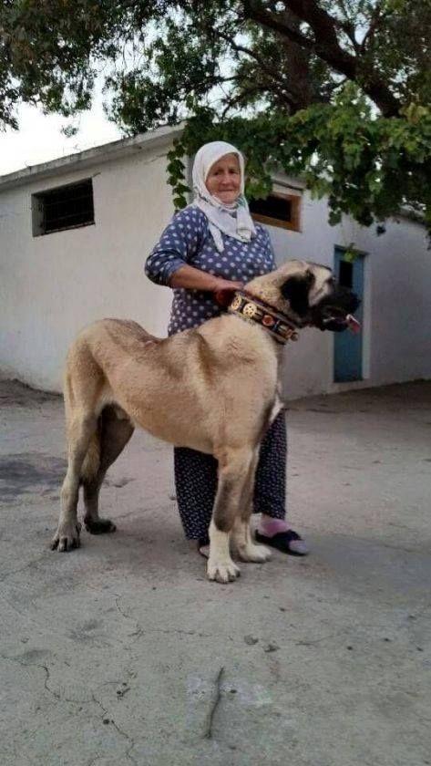 Türk Bekçi Köpeği Kangal