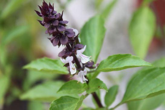 Manjericão-tailandês (Ocimum basilicum Horapha)