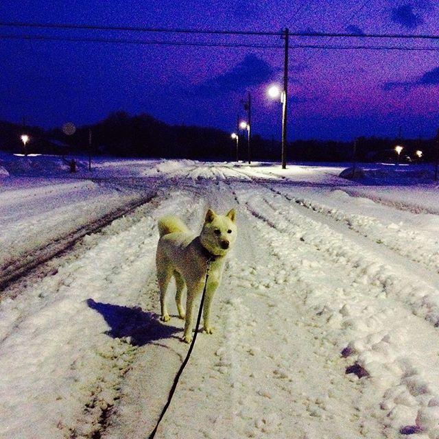 おはよん〜(^ェ^)〜 昨日の夕方から降り続いた雪が積もって、冬に逆戻りょ〜(-_-) 歩き辛いしベタ雪で重いし最悪⤵︎⤵︎ でも、今朝は嬉しい事があったゎ〜 今朝4時ごろにハナがクンクンと私を起こし、具合が悪いのかとお外に出たら元気に走り回り、少し元気になりましたょ〜(^^) 皆さんにご心配かけましたが回復しつつあります。 激励のお言葉、ありがとうございました。 今後ともよろしくお願いします^ ^ #北海道犬 #日本犬 #アイヌ犬 #犬 #白犬 #わんこ #愛犬 #笑顔 #犬バカ部 #和犬 #天然記念物 #犬散歩 #寒い #滑る #氷点下 #雪 #冬 #アウトドア #保護犬シェルター #殺処分ゼロ #hokkaidoken #hokkaidoinu #Japaneseken #Japanesedog #ainuken #ainudog #Whiteinu #Likes #outdoor #snow
