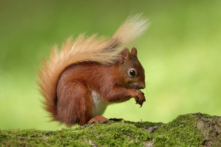 squirrel backround: Full HD Pictures (Irvine Jacobson 3000x2000)