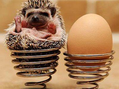 baby miniature animals  //  Baby Pygmy Hedgehog