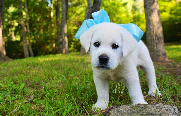 White Labrador Retriever ___ Visit our website now!