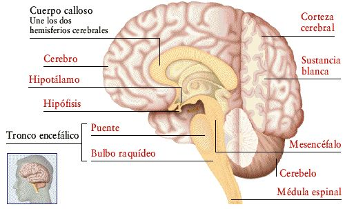 8 best sistema nervioso images on Pinterest | Sistema nervioso ...