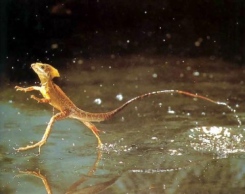 Es un tipo de lagarto que puede andar con el agua es omnivoro.