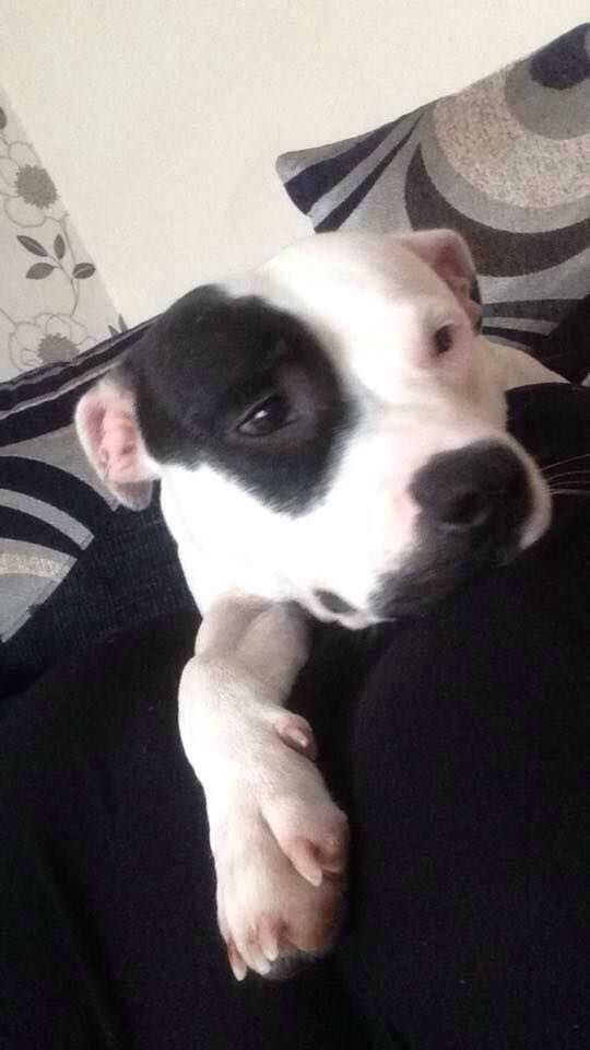 White and black staffy. Female lovely nature. She's 18month old been missing since Monday 3.10.16 Warden and kennels informed MISSING -ASHINGTON -NORTHUMBERLAND