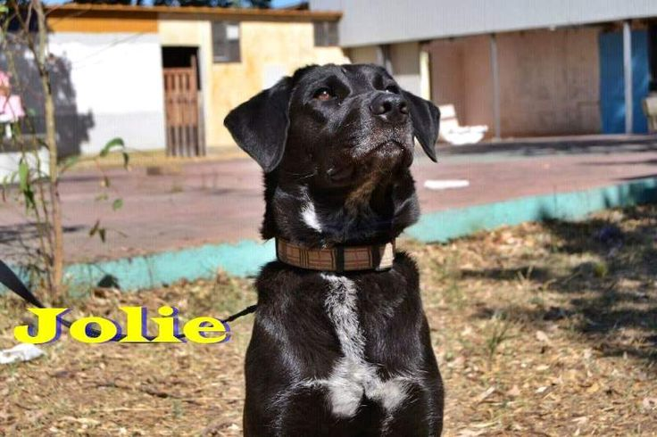 Regalo - adozione cane femmina simil labrador