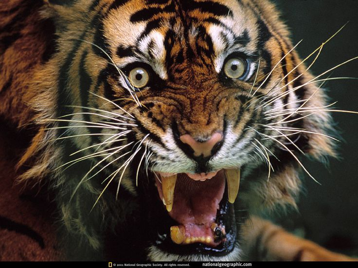 Best Angry Tiger Ideas On Pinterest Tigers Snow Tiger And - Photographer captures angry lion before attack