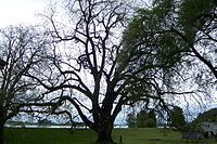 """Wikipedia fact: The largest known living black walnut tree on a residential property is located on Sauvie Island. This tree is 8' 7"""" in diameter at breast height and 112' tall, with a crown spread of 144'. #largesttree #sauvieisland"""