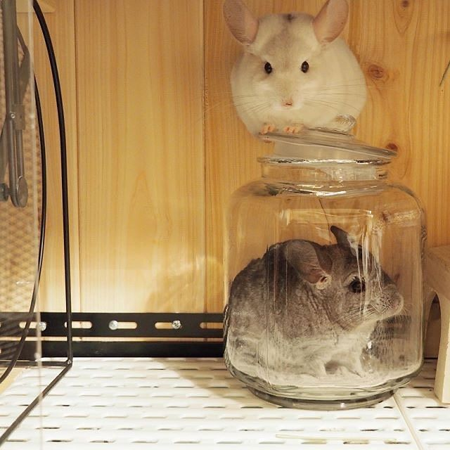 Did You Know That Chinchillas Need Dust Baths So Which Dusts Should You Use Read All About Dust Baths On Out Blog Chinchilla Baby Animals Pictures Dust Bath