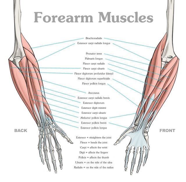 Anatomy of the lower arm