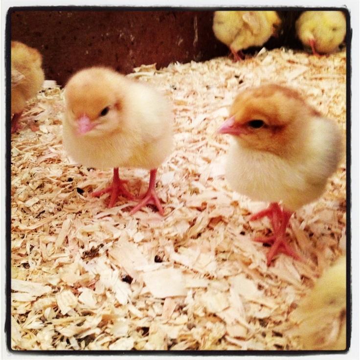 Baby Chicks ...... aaarrrhhh