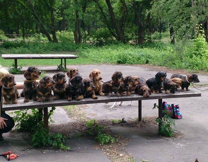 The wonderful, wienerful world of wirehaired Doxies