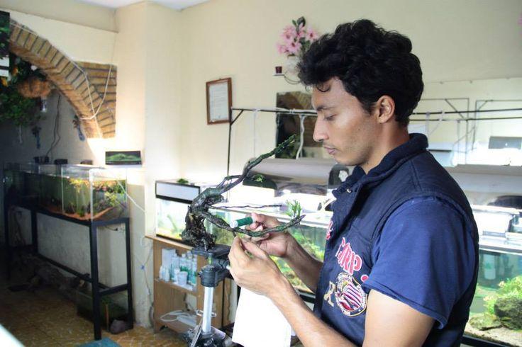 Bernardo Salas Perez fixing moss on driftwood . Mexican Aquascapres