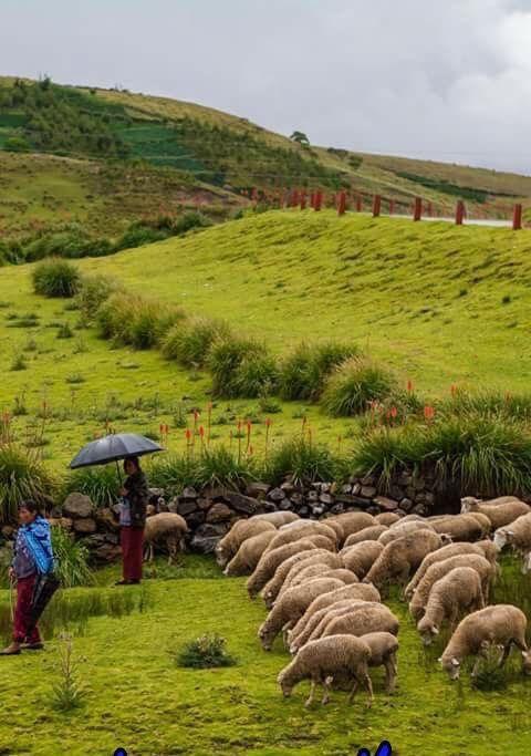 """Altiplano, riqueza de verdor! Pastores, ovejas... Bendita Chapinlandia!!  Los Cuchumatanes, Huehuetenango,  Guatemala  La sierra de los Cuchumatanes  cuna de la etnia Mam, descendiente de los mayas, cuyo nombre proviene de su lengua """"cuchuj"""" (unir) y """"matan"""" (con más fuerza), que resulta en el significado """"Unido Con Gran Fuerza.""""  Fotógrafo desconocido Fuente:  Wikipedia Redacción y Edición:  GUA14-90  #Gua1490 #LocalGuides"""