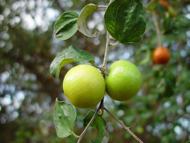 Indian Jujube Fruit Tree  -  Caribfruits - Pomme surette / Fruits des Antilles