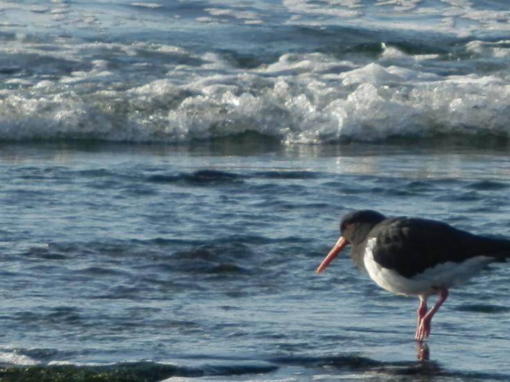 Bicheno Bird