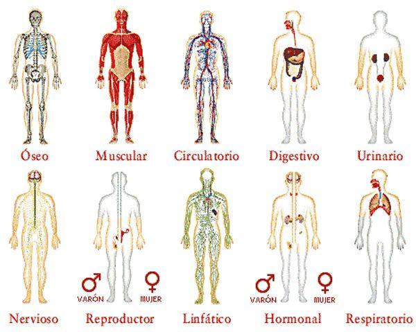 Los sistemas fundamentales del cuerpo humano