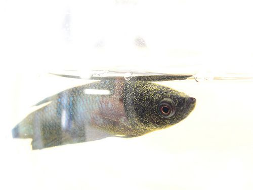 12 best fish diseases and treatment images on pinterest for Cotton wool disease in fish