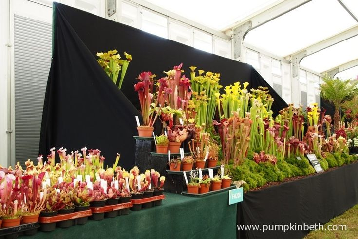 This is the Gold Medal winning exhibit of carnivorous plants at the 2015 RHS Hampton Court Palace Flower Show.  Hampshire Carnivorous Plants are based in Horton Heath, in Hampshire, they have been growing carnivorous plants for over 35 years, they sell an extensive range of carnivorous plants, compost, books and sundries for the amateur and expert carnivorous plant enthusiast.   Look out for the Hampshire Carnivorous Plants Nursery open days.