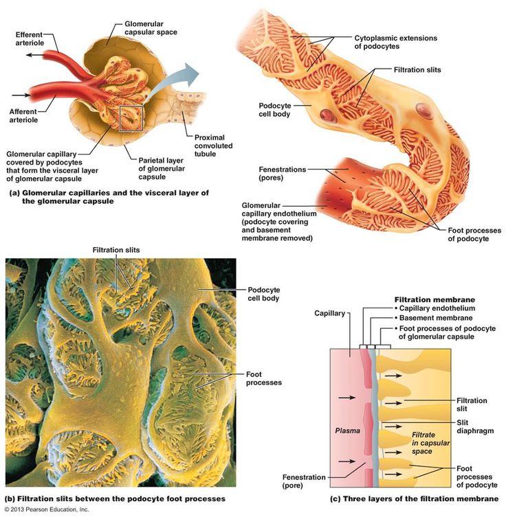 53 best Histology - Urinary images on Pinterest | Nurses, Nursing ...