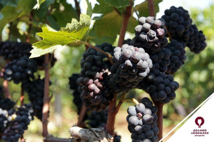 Очень важным условием получения качественного вина является сортировка винограда во время сбора. Для виноделия совершенно непригодны гнилые, заплесневелые, поврежденные и недозревшие ягоды. Достаточно примешать к доброкачественному винограду только одну заплесневелую гроздь, и вино получится с сильным запахом плесени. Грозди с недоразвитыми зелеными ягодами также следует удалять. Поэтому мы в долине Лефкадия перебираем виноград с особой тщательностью.