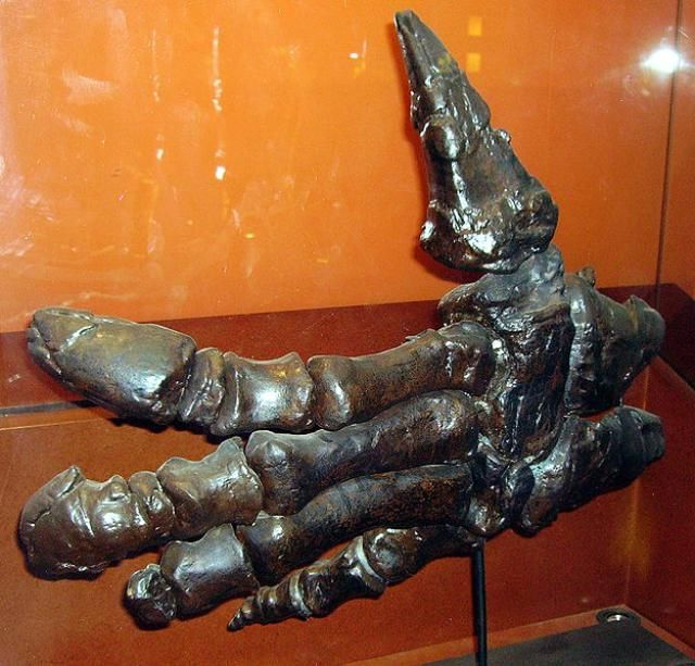 The herbivore Iguanodon had large thumb spikes as seen on this articulated Iguanodon hand.