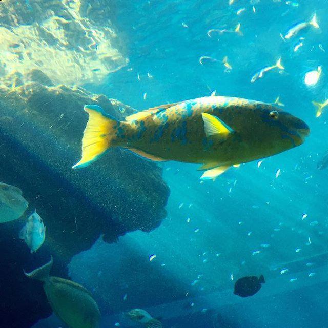 【tatsu.s.k】さんのInstagramをピンしています。 《南国の海のステージはとても賑やかでした ・ 降り注ぐ日差しのスポットライトに、めいっぱいのドレスアップ ・ ・ #Japan #okinawa  #aquarium  #Photography #blue #street  #snapshot #instagood #日本 #沖縄 #水族館 #アクアリウム #美ら海 #美ら海水族館 #エメラルドグリーン #魚 #写真 #フォト #ストリート #スナップ #スナップショット #iPhone #カメラ好きな人と繋がりたい #写真好きな人と繋がりたい #写真撮ってる人と繋がりたい #ファインダー越しの私の世界》