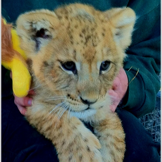 Paradise valley springs - rotorua, NZ there is lion cub petting everyday at 3:00pm :) one of the awesomest experience!
