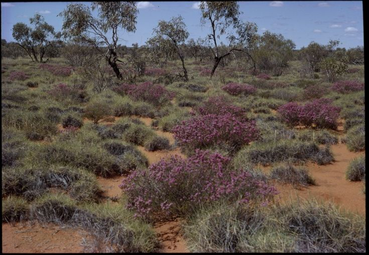 148156PD: Wehlia thryptomenoides among spinifex and mallee, Great Victoria Desert between Laverton and Cosmo Newbery, Western Australia, 28 September 1966. (Click to Start Zoom)