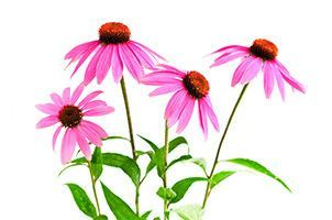Echinacea enhances better judgment; purifies blood from metabolic waste and impurities. It also purifies thoughts, relieving fears and erroneous or unjust opinions. Echinacea subtle body healing enhan