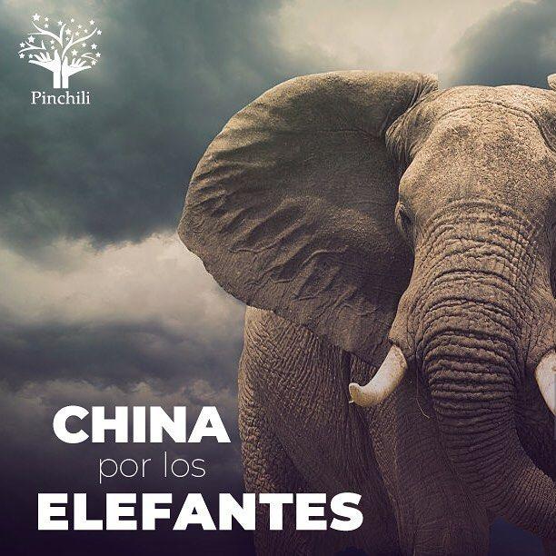 China por los elefantes: Inicia 2018 con la prohibición total del comercio de marfil  El Gigante Asiático solía ser uno de los mercados más grandes para la comercialización de marfil a nivel mundial sin embargo China ha decidido actuar en pro de los elefantes y para detener los delitos que se cometen en esa industria por lo que inició el año 2018 con la prohibición total de la venta y el procesamiento de marfil. La compra y venta de marfil y de productos derivados por parte de mercados…