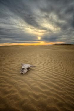 An old bull skull at the Great Sandhills in Saskatchewan