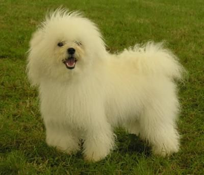 The Bolognese may look like the Bichon Frise, but its personality is rather different. Less boisterous and outgoing than its fluffy white cousin, the Bolognese is slightly more reserved around the house. However, it forms very strong bonds with family members and welcomes strangers with a calm dignity.