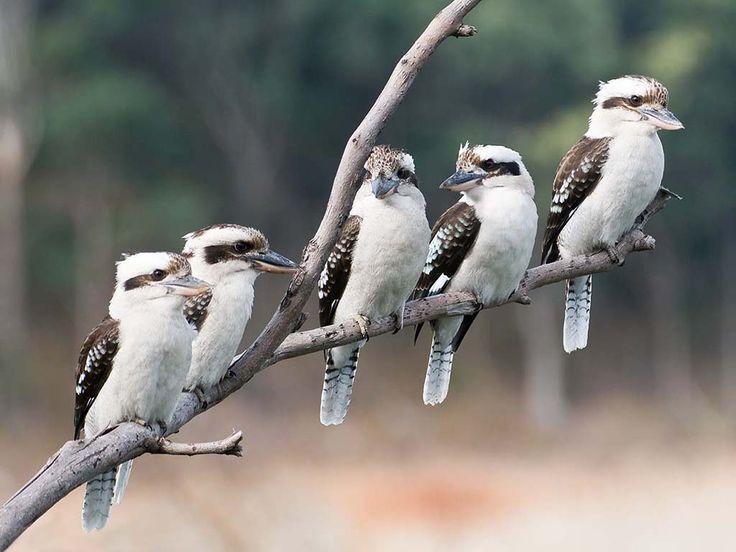 Kookaburra | ... au/component/jwallpapers/picture/boca-library/3220-laughing-kookaburra