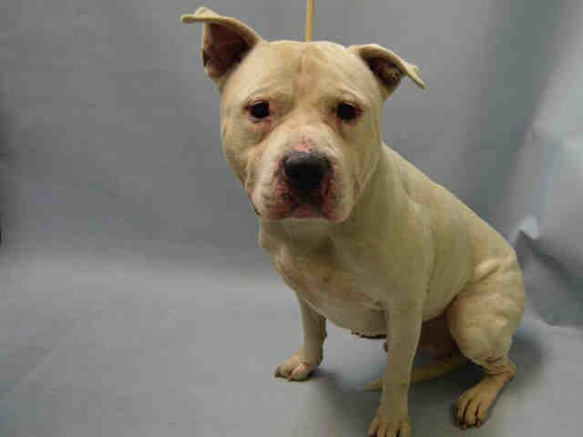 GYPSY - A1097778 - - Brooklyn  Please Share:TO BE DESTROYED 11/29/16 **NEW HOPE RESCUE ONLY** -  Click for info & Current Status: http://nycdogs.urgentpodr.org/gypsy-a1097778/