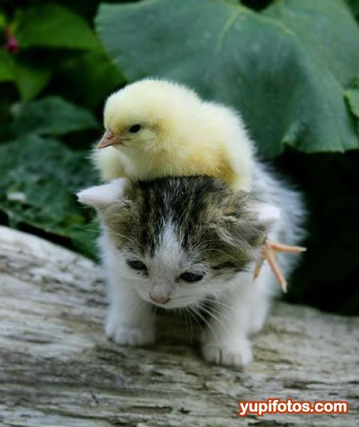 Baby+Mallard+Ducks+6+Weeks | baby #cat and baby #duck! so #fluffy!