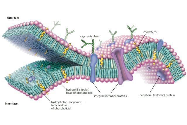 Cell Membranes Function, Structure and Composition: Cell Membrane