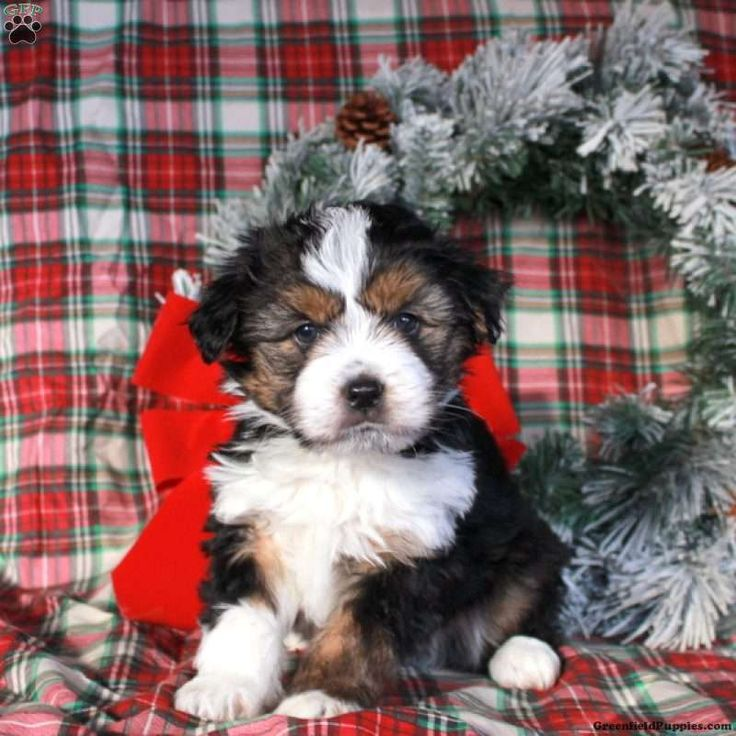 Miniature aussiedoodle puppies for sale greenfield