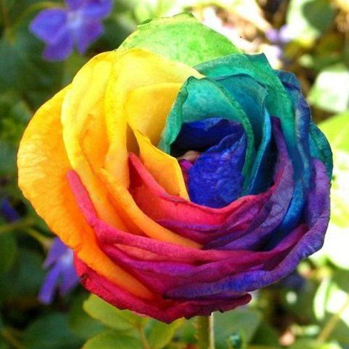 113 best images about unique color roses 2 on pinterest for Rainbow flower seeds