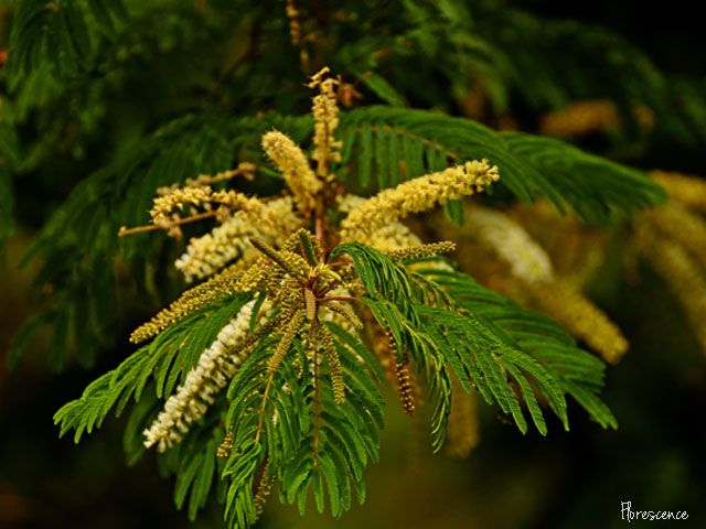 Acacia ataxacantha, Flamethorn, Vlamdoring, Rank wag-'n-bietjie, Fabaceae, Pod-bearing, plant, indigenous, South Africa, exotic, flower, flora, floral, tree, thorn, cream, yellow, thorn, Mpumalanga, (c) Florescence Photography