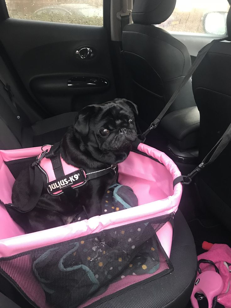 Lula in her new car seat 🚘🐾🐾😍 Car seats, New cars, Pugs
