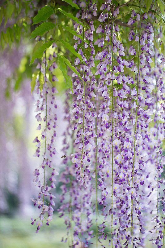 Wisteria, At Jindai Botanical Gardens, Tokyo. My Secret ...