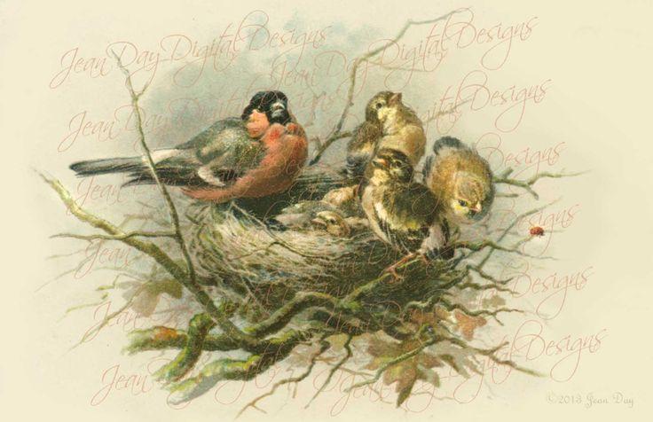 Aves La nido de Robin y 5 pajaritos 1903 antiguo
